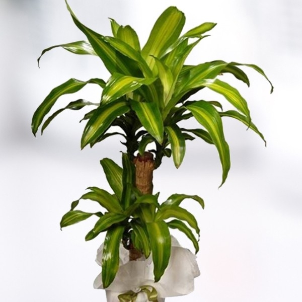 A l a i ek sipari i l dresena salon bitkisi for Salon cicekleri yapay